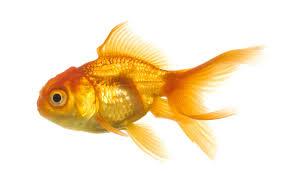 zzgoldfish
