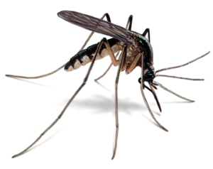 zzzmosquito-illustration_360x286